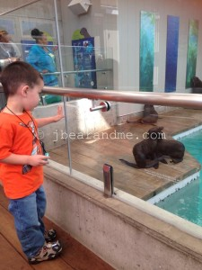 Fur seal pups playing in an enclosure while a little boy looks on